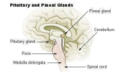 pineal.gland.jpgf