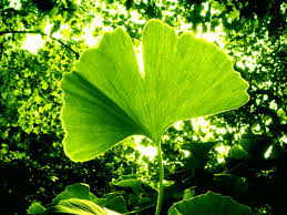 Photo of Ginko Biloba – Arborele sfant al vietii 1