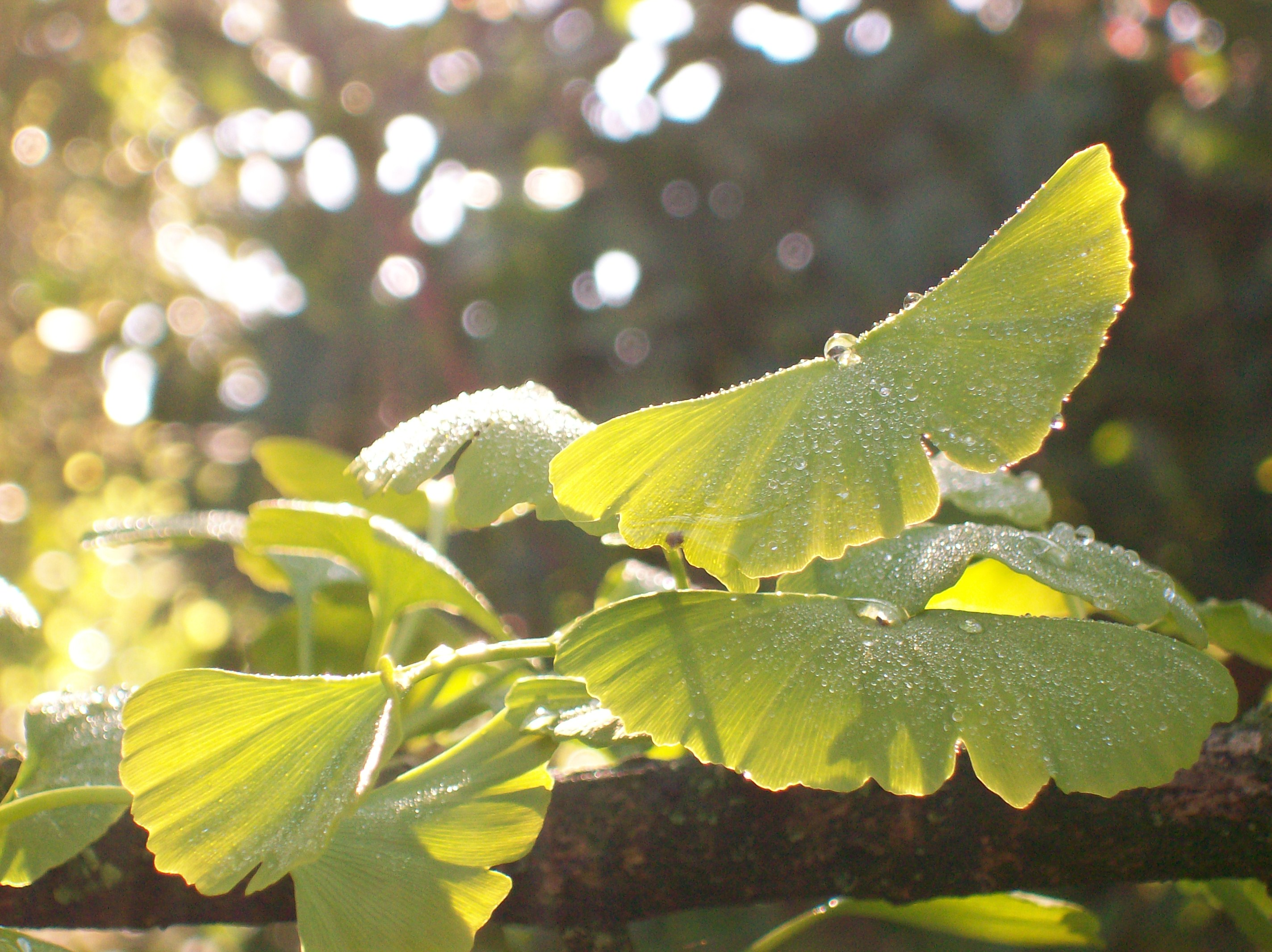 Photo of Ginko Biloba – Arborele sfant al vietii 2